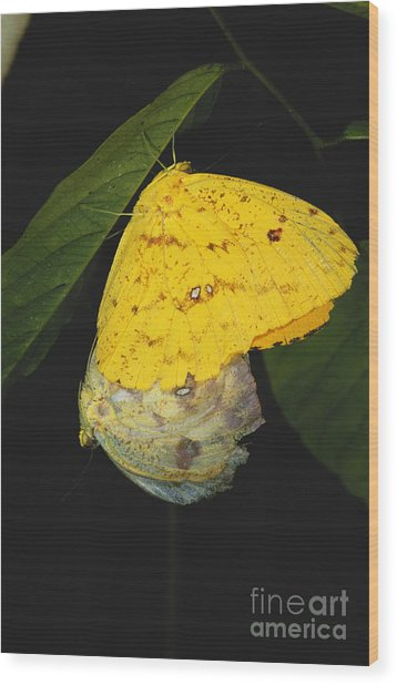 Apricot Sulfur Butterflies Wood Print