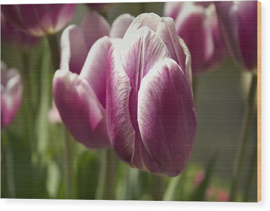 Wood Print featuring the photograph Arboretum Tulips by Ben Shields