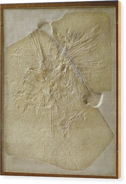 Archaeopteryx Fossil Wood Print by Natural History Museum, London/science Photo Library