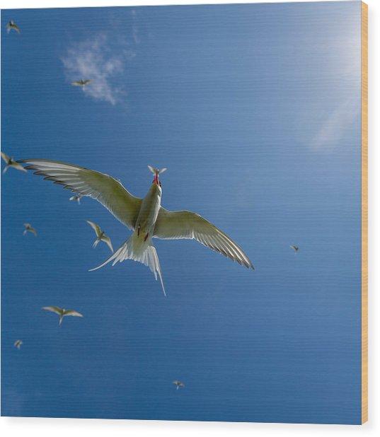 Arctic Terns Sterna Paradisaea, Flatey Wood Print
