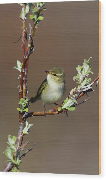Arctic Warbler Wood Print