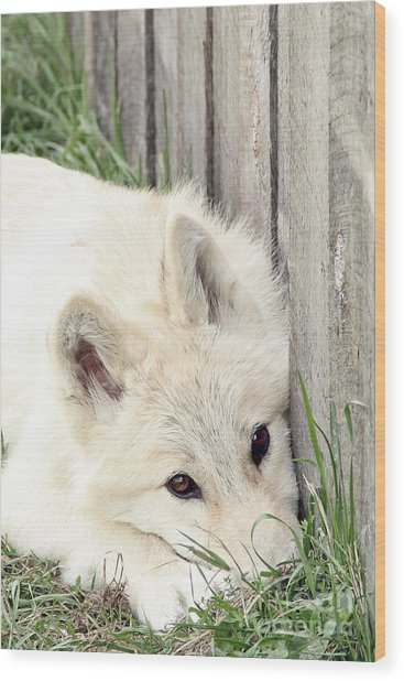 Arctic Wolf Wood Print by Kathy Eastmond