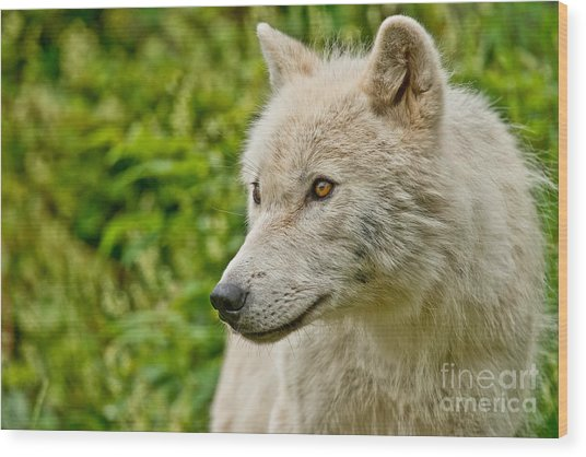 Arctic Wolf Pictures 241 Wood Print