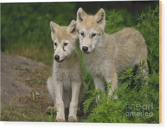 Arctic Wolf Puppies Wood Print