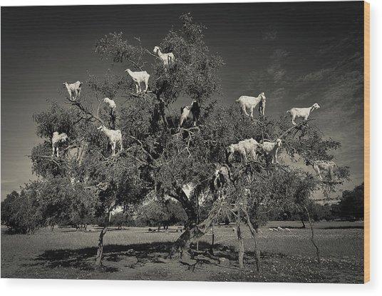 Argan Loving Goats Wood Print by Dario Puebla