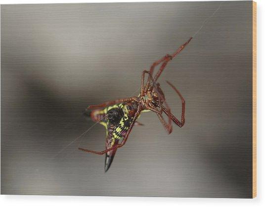 Arrow-shaped Micrathena Spider Starting A Web Wood Print