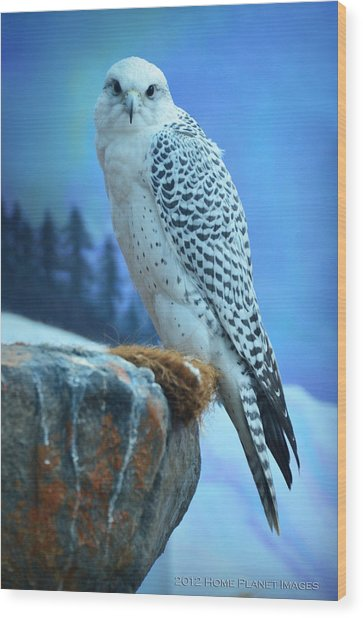 Artic Falcon Wood Print by Janis Knight