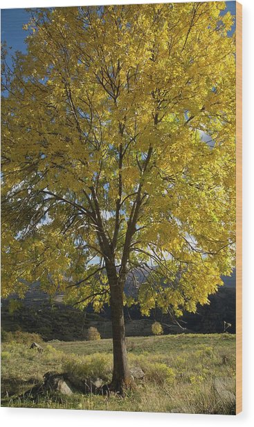 Ash (fraxinus Excelsior) Tree In Autumn Wood Print by Bob Gibbons