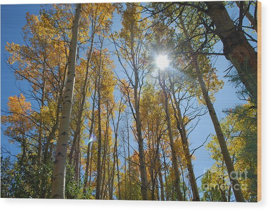 Aspen Afternoon Wood Print by William Wyckoff