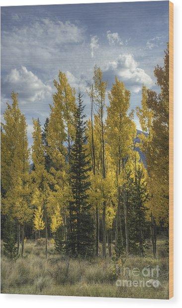 Aspen And Evergreen Wood Print