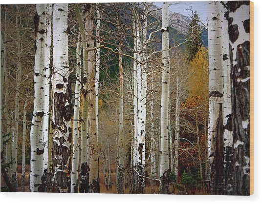 Aspen In The Rockies Wood Print