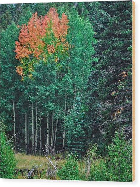 Aspen-orange Before Yellow Wood Print by Larry Bodinson
