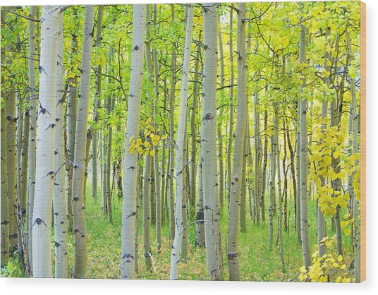 Aspen Tree Forest Autumn Time  Wood Print