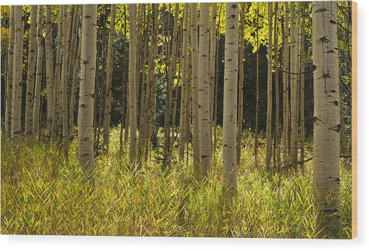 Aspen Trees All In A Row Wood Print