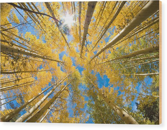 Aspen Trees Looking Up Wood Print