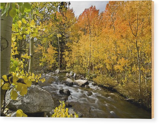 Aspens At Bishop Creek Wood Print