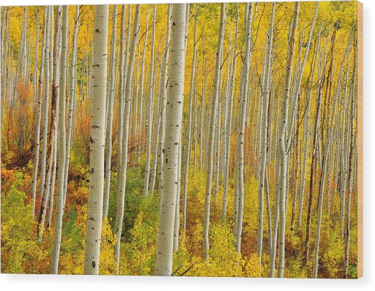 Aspens In The Colorado Rockies Wood Print