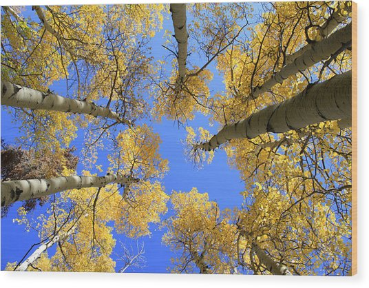 Aspens Skyward Wood Print