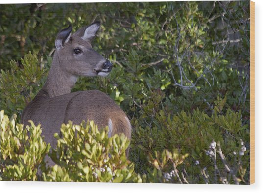 Asseteague Island Doe1  Wood Print