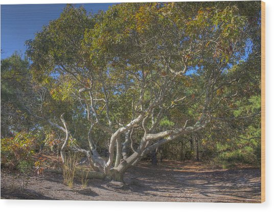 Asseteague Island Oak Wood Print