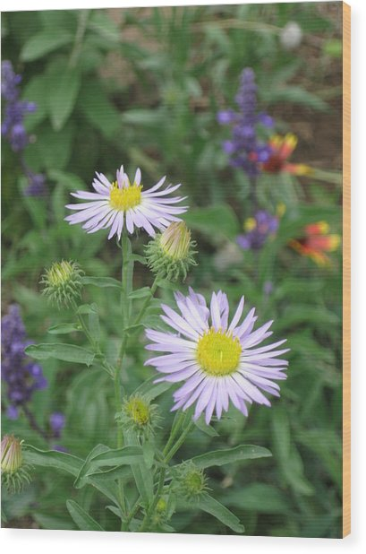 Asters In Close-up Wood Print