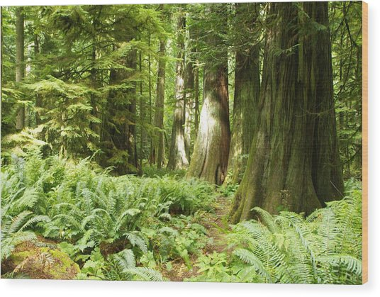At Cathedral Grove Wood Print