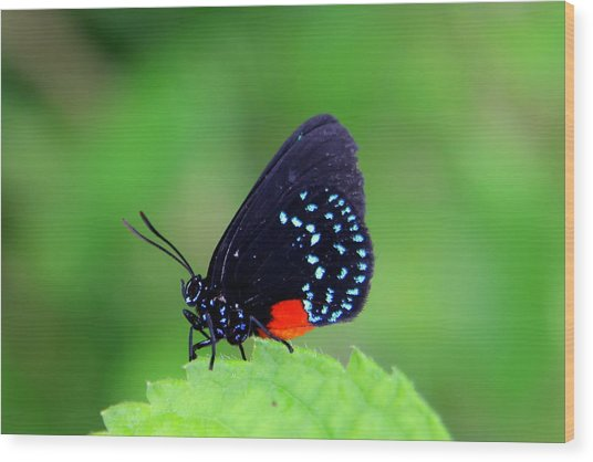 Atala Butterfly Wood Print
