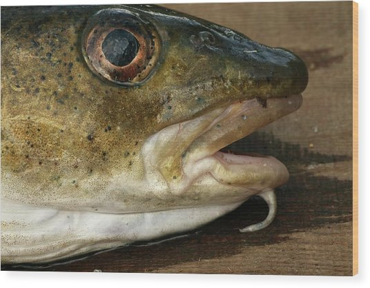 Atlantic Cod Wood Print by Bjorn Svensson/science Photo Library