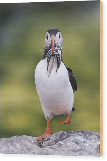 Atlantic Puffin Carrying Greater Sand Wood Print