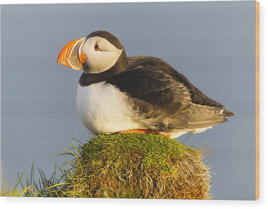 Atlantic Puffin Iceland Wood Print