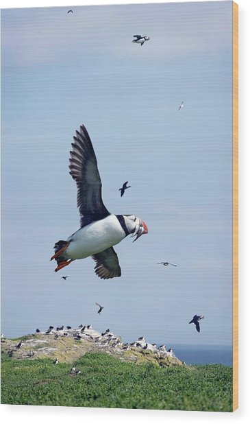 Atlantic Puffin In Flight Wood Print by Steve Allen/science Photo Library