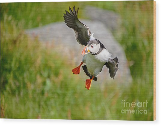 Atlantic Puffin, Incoming.... Wood Print