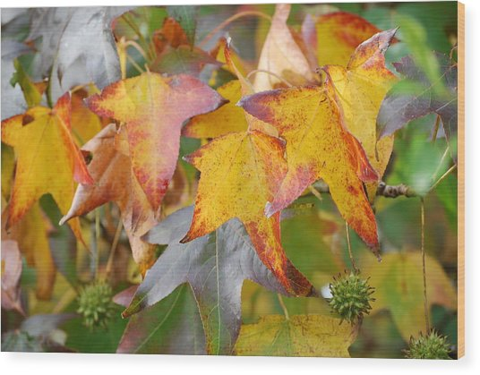 Autumn Acer Leaves Wood Print