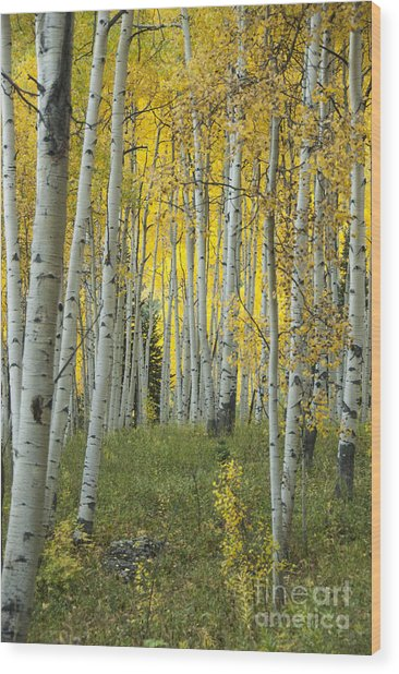 Autumn In The Aspen Grove Wood Print