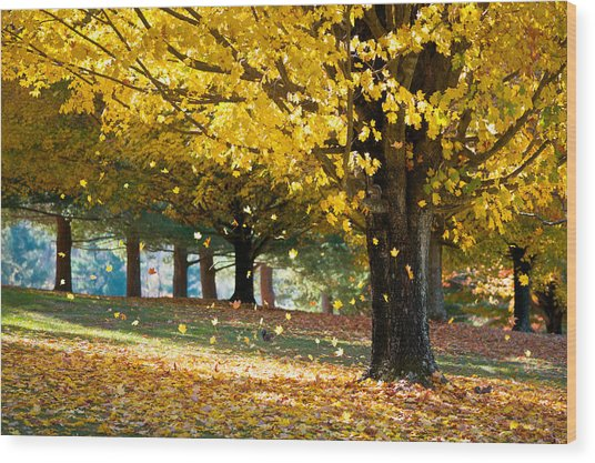 Autumn Maple Tree Fall Foliage - Wonderland Wood Print