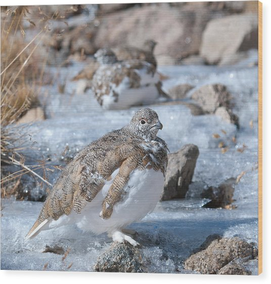 Autumn Plumage White-tailed Ptarmigan Wood Print