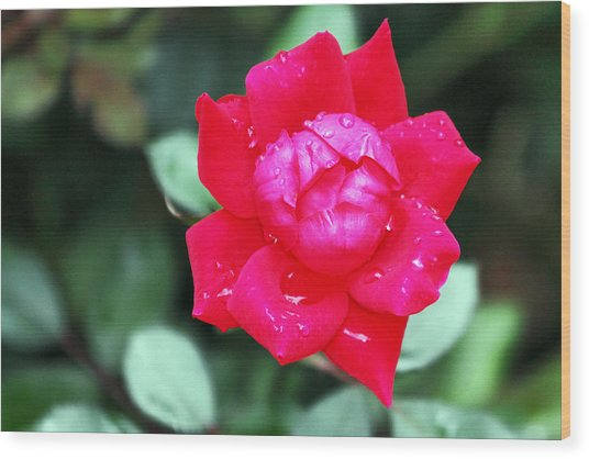 Autumn Rose After The Rain Wood Print