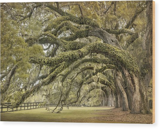Avenue Of Oaks Wood Print