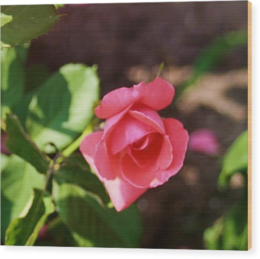 Awesome Rose Wood Print by Victoria Sheldon