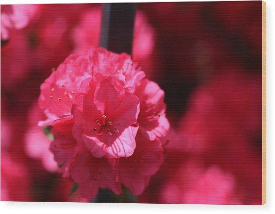 Azalea Bloom Wood Print