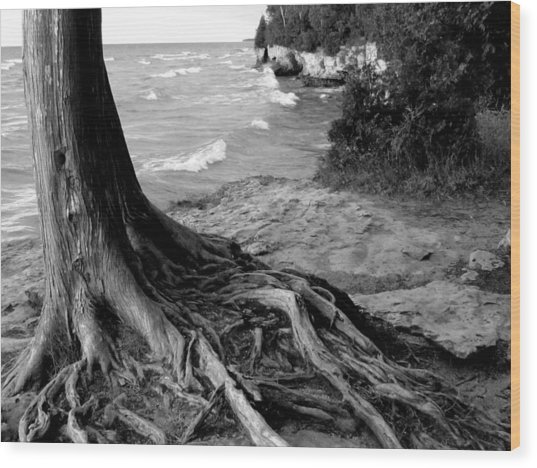 B And W Cedar Roots At Cave Point Wood Print