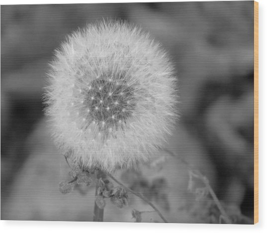 B And W Seed Head Wood Print