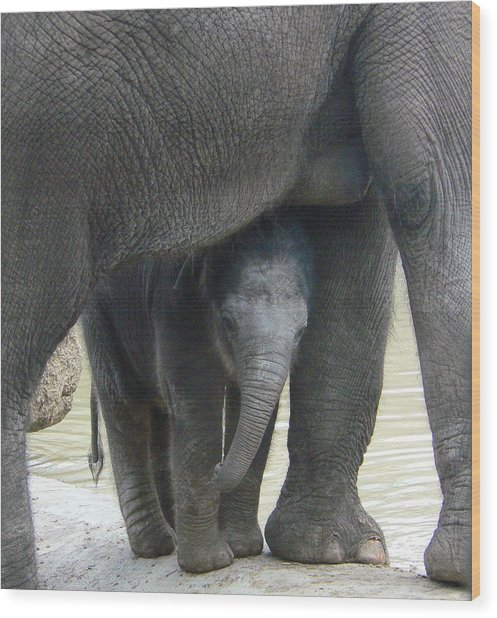 Baby Asian Elephant With Mother Wood Print