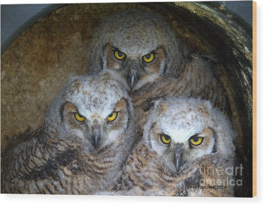 Baby Big Horned Owls Wood Print