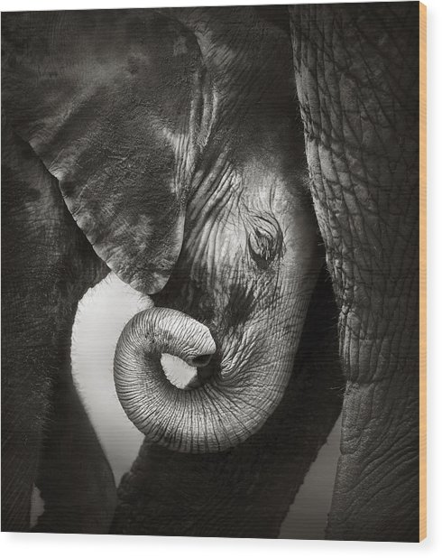 Baby Elephant Seeking Comfort Wood Print