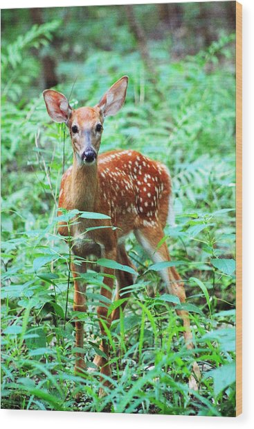 Baby Fawn Wood Print