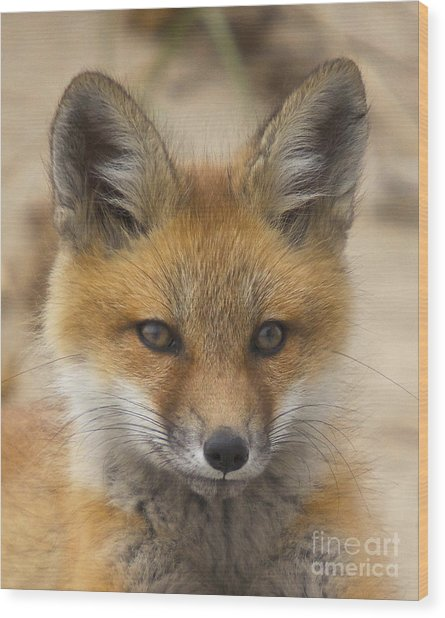 Baby Fox  Wood Print