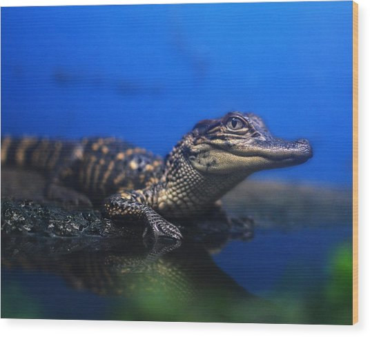 Baby Gator Wood Print