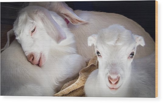 Baby Goats Napping Wood Print