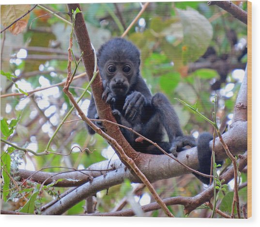 Baby Howler Monkey  Wood Print by Melanie Beckler